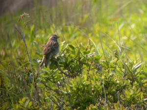 savannah, sparrow, bird, sitting, tree, branch