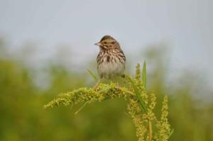 savannah, sparrow, grass