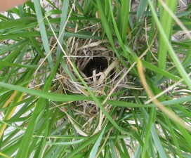 seaside, sparrow, ammodramus maritimus, nest