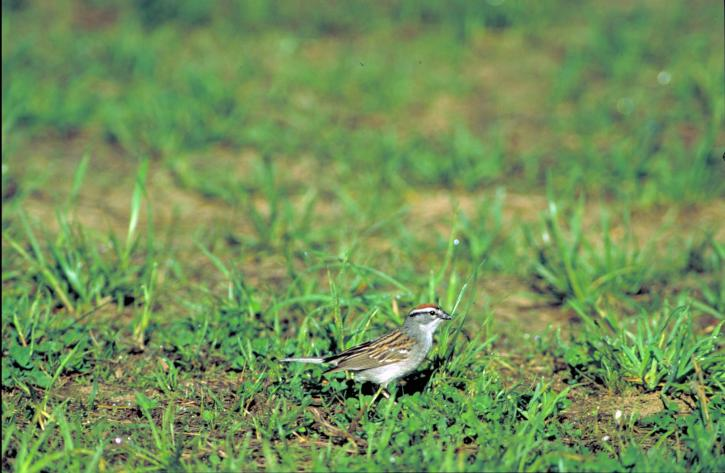side, chipping, sparrow, bird