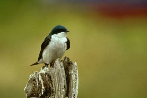 small, songbird, tree, swallow, tachycineta, bicolor