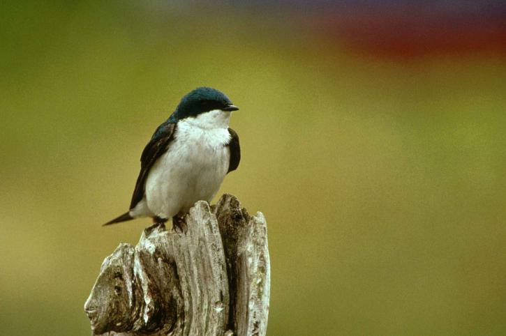 små, songbird, träd, swallow tachycineta bicolor