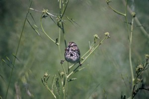 song, sparrow, bird, melospiza, melodia