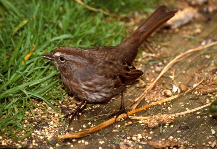 song, sparrow, bird, ground, melospiza melodia