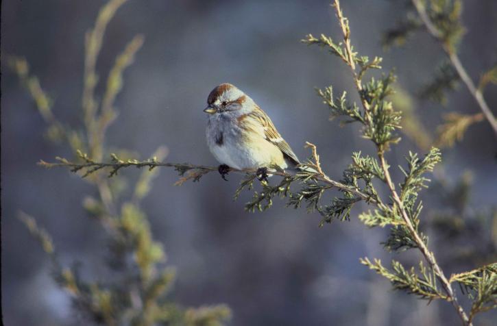 spizella arborea, Amerikan, ağaç, Serçe, kuş