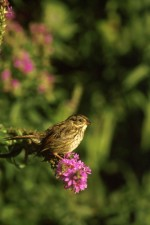 swamp, sparrow, flower, stem, melospiza, georgiana