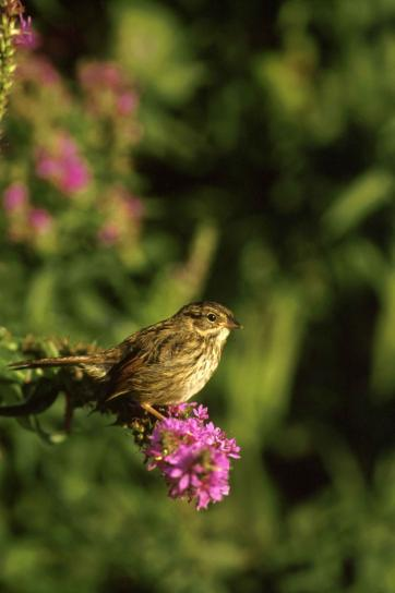 swamp, sparrow, flower, stem, melospiza georgiana