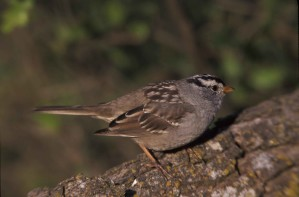 white, crowned, medium sized, sparrow, zonotrichia leucophrys