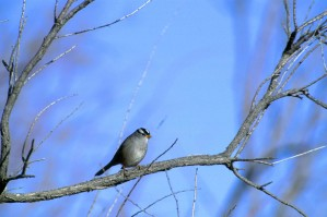 white, crowned, sparrow