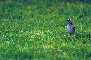 white, crowned, sparrow, bird, green grass, zonotrichia leucophrys