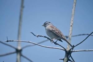 white, crowned sparrow, bird, tree, limb, zonotrichia leucophrys