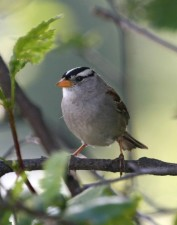 white, crowned, sparrow, bird, zonotrichia leucophrys