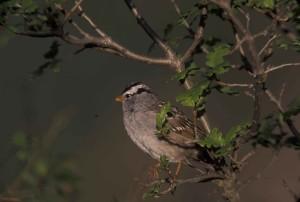 white, crowned, sparrow, tree, limb