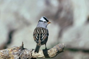 white, crowned, sparrow, branch