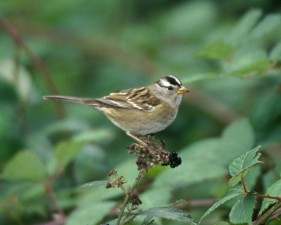white, crowned, sparrow, standing, branch, looking,