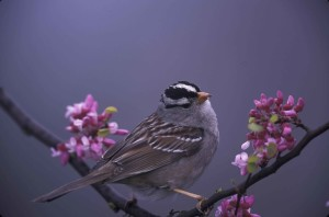 white, crowned, sparrow, zonotrichia leucophrys, flowering, tree