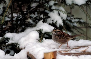 white, throated, sparrow, bird, snow, zonotrichia albicollis