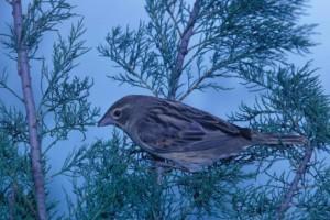 spiza, Americana, dickcissel, bird, branch