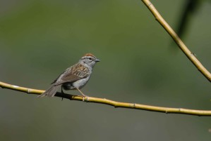 spizella, passerina, bird, sparrow