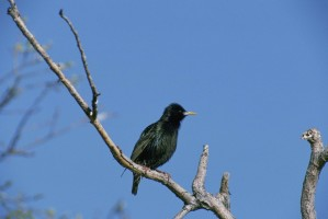 starling, bird, sitting, dead, branch