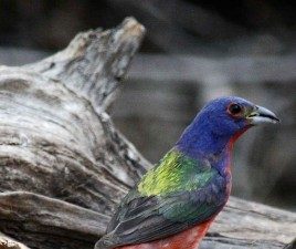 still, bird, standing, driftwood, painted, bunting, bird, passerina, ciris