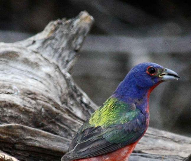 Ipak, ptica, stoji, driftwood, oslikana strnadica, ptica, passerina ciris