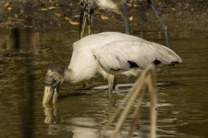 up-close, wood, stork, wades, search, meal