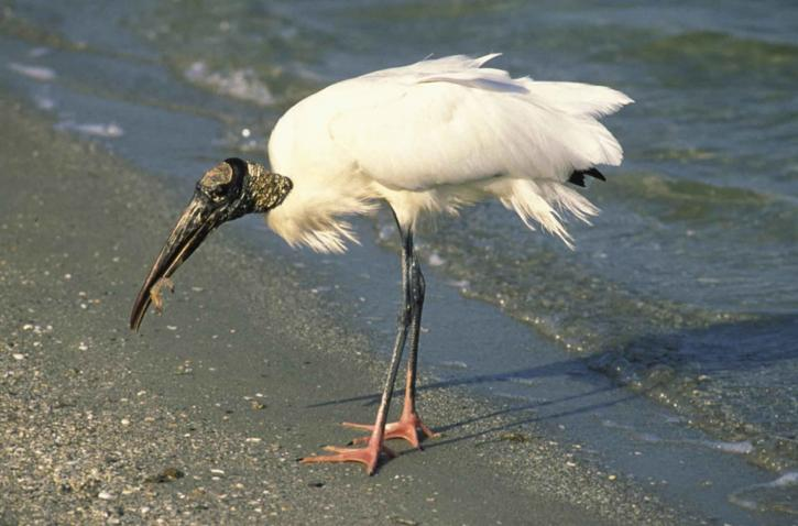endangered, wood, stork, feeds, shore