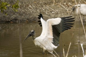 male, wood, stork, spreads, wings, mycteria, Americana