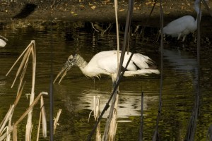 wood, stork, bird, forages, food, water