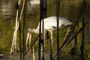 drewno, bocian, ptak, mycteria Americana, polowań, posiłek, marsh