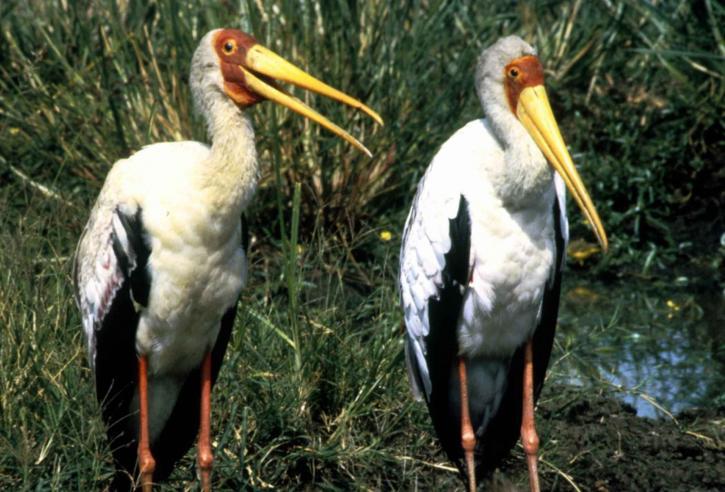 žltá, fakturovaná, bocian, vtáky, pár, mycteria ibis