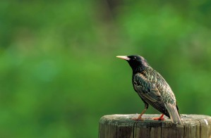 sturnus, vulgaris, European, starling, bird