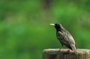 sturnus, vulgaris, European, starling, bird