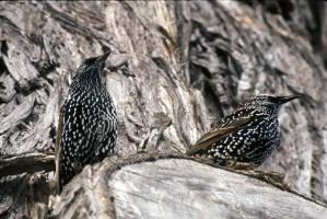 Sturnus vulgaris, étourneau, oiseaux