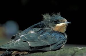 Barn swallow, trẻ, Nhạn, chim