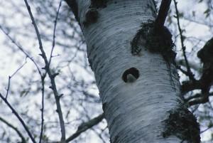 songbird, tree, swallow, nest, tree, tachycineta, bicolor