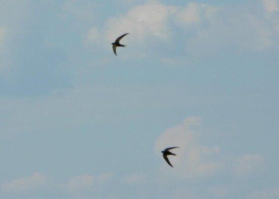 înghiţit, păsări