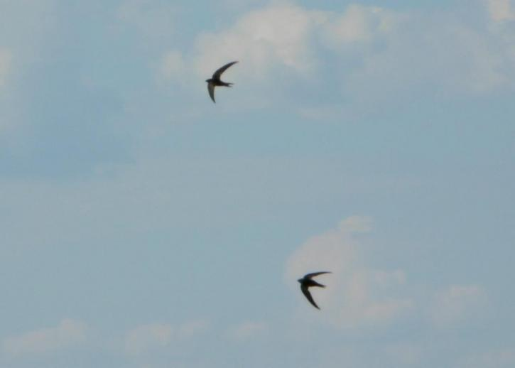 swallows, birds