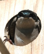 tree, swallow, box, tachycineta bicolor