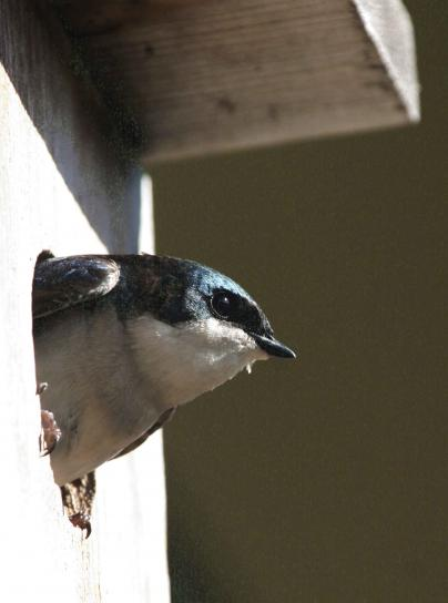 tree, swallow, profile, nest, box