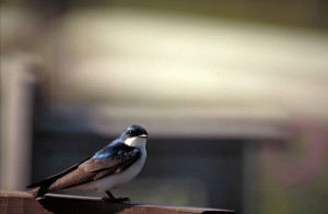 tree, swallow, tachycineta, bicolor, bird, standing, railing