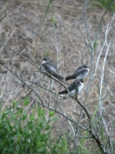 tree, swallows, birds, wild, tachycineta, bicolor