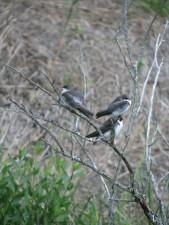 树, 燕子, 鸟, 野, tachycineta, 双色