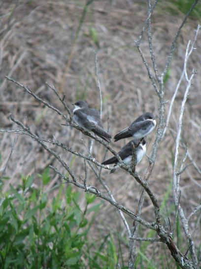tree, swallows, birds, wild, tachycineta, bicolor