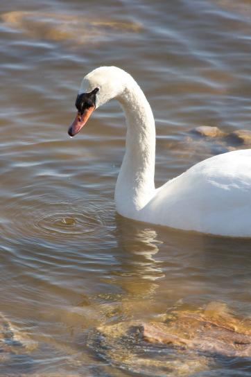 Profil mute swan, burung, cygnus, olor