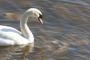 profile, mute, swan, water