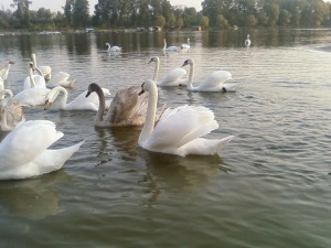 mooi, zwanen, rivier