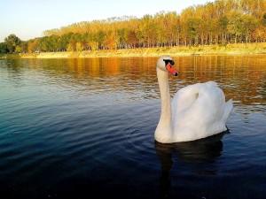 όμορφο, λευκό κύκνο, πουλί, θέτοντας