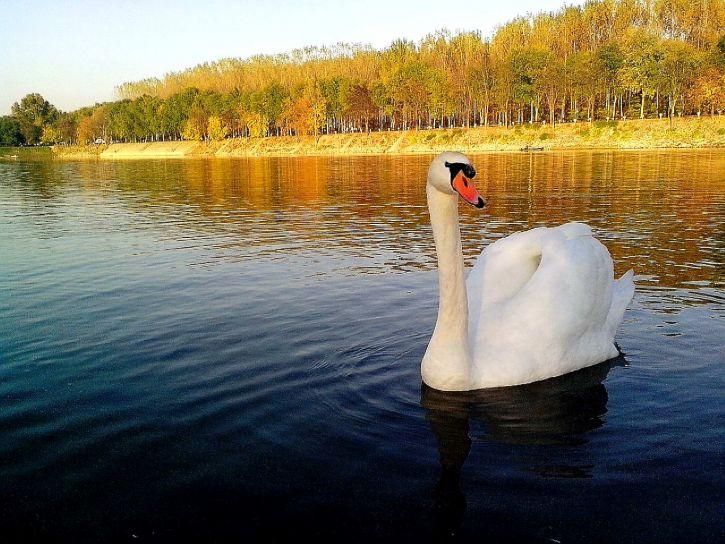 beautiful, white, swan, bird, posing